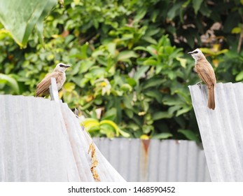 A pair Yellow-vented Bulbul (Pycnonotus goiavier) or eastern yellow-vented bulbul on zinc wall, member of bulbul family of passerine birds, resident breeder in southeastern Asia