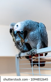 Pair of young African gray parrots - Jaco parrots sitting on their open cage. The grey parrot Psittacus erithacus, also known as the Congo grey parrot is an Old World parrot in the family Psittacidae.