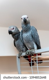 Pair of young African gray parrots Jaco parrots sitting on their open cage. The grey parrot Psittacus erithacus, also known as the Congo grey parrot is an Old World parrot in the family Psittacidae.
