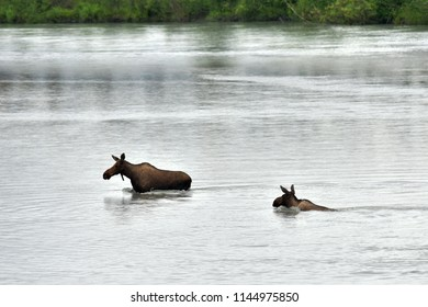 A pair of young Alaska moose (Alces alces gigas) cross the Matanuska River near Wasilla, Alaska.