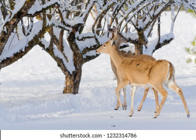 a pair of young female Whitetail deer in an orchard