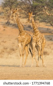 A pair of young male giraffes in the Kgalagadi Transfrontier Park, situated in the Kalahari Desert in Southern Africa.