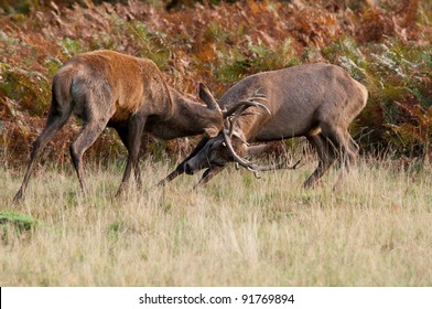 A pair of young red deer stags rutting for first place.