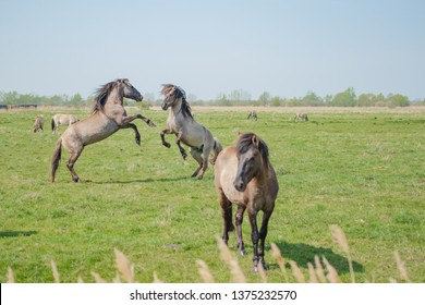 Pair of young Stallions seen attacking each other at a nature reserve. These sonic ponies are part of a large herd of mostly mares and are looking to compete as the dominant male.