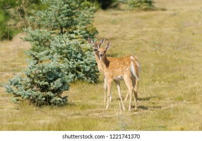 pair of young urbanized White-tailed deer fawn (odocoileus virginianus)