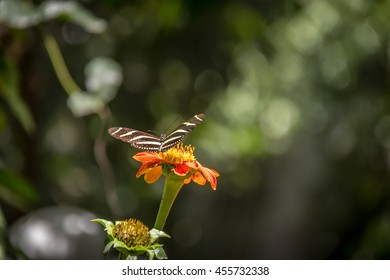Pair of zebra longwings butterflies on a orange flower