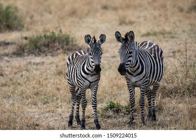 Pair of Zebras in the Serengeti National Park