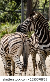 A pair of zebras standing top to tail
