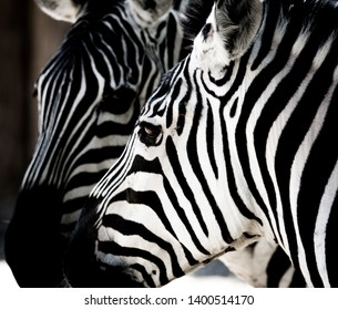 A Pair of Zebras - a study in stripes