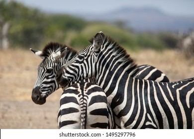 Pair of Zebras in the Tarangire National Park