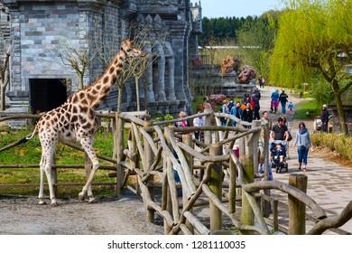 Pairi Daiza, Belgium - April 11, 2016: Giraffe in the zoo Pairi Daiza and people around
