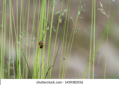 Pairing red seven-spotted ladybirds (Coccinella septempunctata)