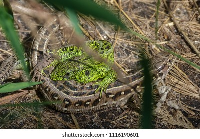 pairing of two  individuals of an lizard ordinary (Lacerta agilis)  on the ground covered with dry grass, during coitus the green male of the lizard bites the brown female behind its back