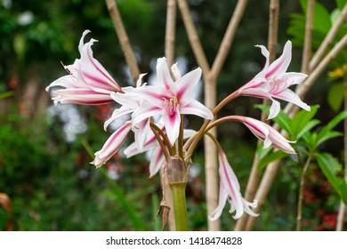Pajama lily (Crinum kirkii) flowers - Florida, USA