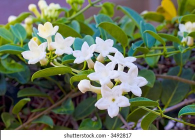 Pakalana is the Hawaiian name for the Chinese Violet. This vine was introduced by immigrants in the mid 1800's. The flower is prized for its delicate fragrance and associated with love-making