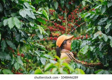 Pakse, Laos - October 27, 2010: Laos Girl is harvesting coffee berries in coffee farm on Bolaven Plateau, a coffee grower's utopia. Champasak Province.