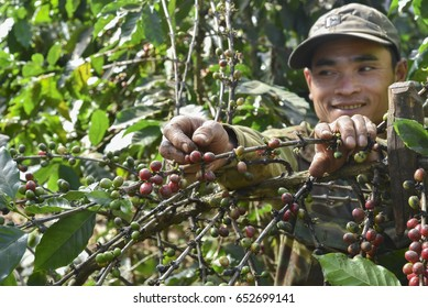 Paksong, Laos - December 28, 2016 : Coffee farmer smiling while hands picking red ripen arabica coffee berries at coffee plantation