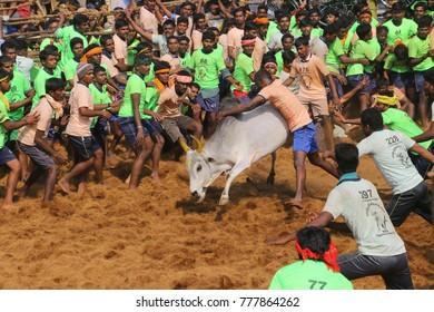 PALAMADU,INDIA-FEBRUARY 9, 2017 : Competitors taking part in the bull taming sport of jallikattu on FEBRUARY 9,2017 in PALAMADU,Tamil Nadu, India.Union Government grant permission 2017 Jallikattu.