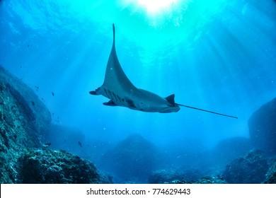 palau Giant oceanic manta ray