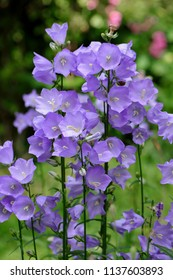 Pale blue flowers of the Peach-Leaved Bellflower (Campanula persicifolia) in the garden
