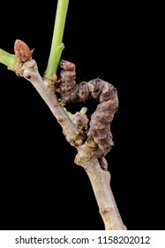 Pale Brindled Beauty ( Phigalia pilosaria ) moth caterpillar. Sitting on a twig with a black background.