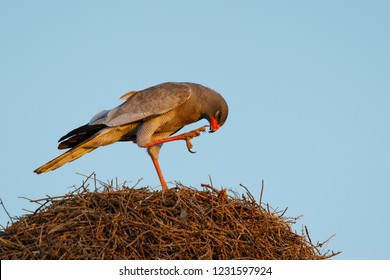 Pale chanting goshawk cleaning after eating a rat on top of a weaver nest- Kgalagadi Transfrontier Park - South Africa