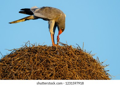 Pale chanting goshawk eating a rat on top of a weaver nest- Kgalagadi Transfrontier Park - South Africa