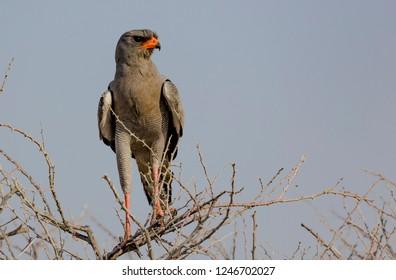 Pale Chanting Goshawk in Etosha, a National Park of Namibia