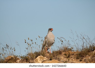 Pale Chanting Goshawk, Melierax canorus, standing tall on the top of a ridge in typical arid habitat.