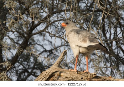 Pale chanting goshawk on branch