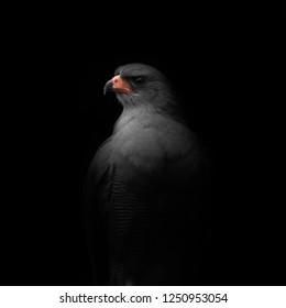 Pale Chanting Goshawk Portrait