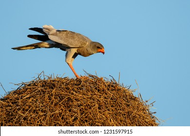Pale chanting goshawk with prey on top of a weaver nest- Kgalagadi Transfrontier Park - South Africa
