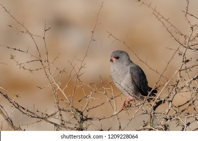 Pale chanting goshawk sit in a tree and look, etosha nationalpark, namibia, (melierax canorus)