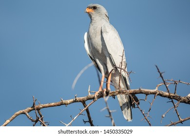 Pale chanting goshawk sitting on a branch, Etosha Namibia.