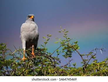 A Pale Chanting Goshawk is sitting in a tree at the Etosha National park in northern Namibia during summer