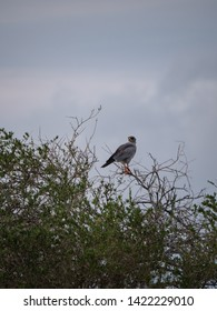Pale Chanting Goshawk in Tsavo National Park, Kenya