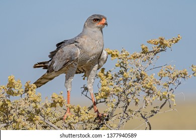 Pale Chanting-goshawk - Melierax canorus, beautiful gray bird of prey from African savannas and bushes, Etosha National Park, Namibia.