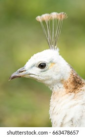 Pale coloured peahen