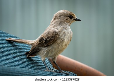 Pale flycatcher perched on sunshade facing right