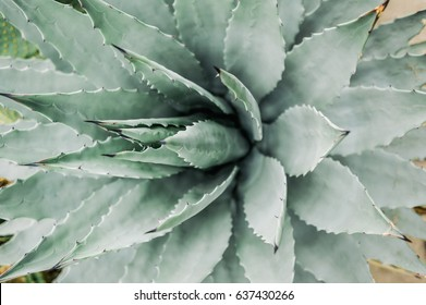 Pale green agave cactus leaves close up macro image