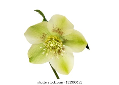 Pale green hellebore flower isolated against white