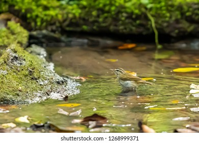 A Pale legged Leaf warbler bathing in a natural small pond
