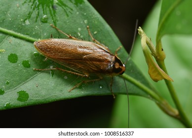 Pale margined Forest Cockroach