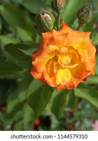 Pale orange climbing roses change color as they mature