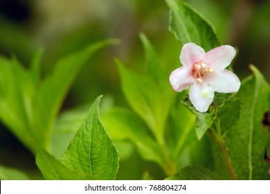 Pale Pink Abelia Flower among Green Leaves