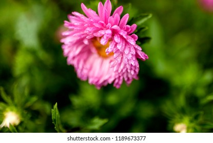 pale pink Astra flower with raindrops on the petals, narrow focus area