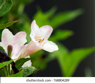 Pale Pink Belia Flowers and Bud with Leaves