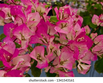Pale Pink Bougainvillea