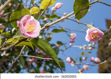 Pale pink camellia flowers under blue sky