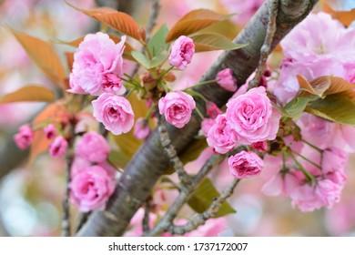 4月の薄ピンクの桜